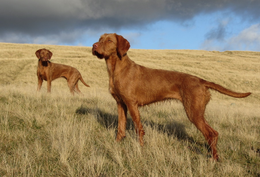 Breed Of The Month The Hungarian Vizsla | Dog Breeds Picture