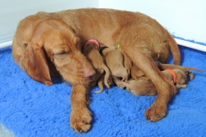 Huncut with her & Ostor's one-day-old pups