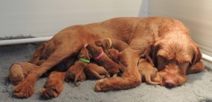 Csoda with her & Samu's day-old pups