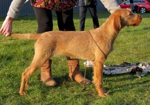 Kefir, Puppy Group 2 at Oswestry. With thanks to the lovely lady who stacked her for the photo!