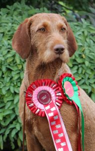 Kefir with her rosettes from Pwllheli