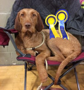Kefir, Best NSC Gundog and Group 1, Rhyl, November 2016